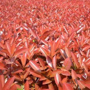 红叶石楠06